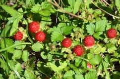 Πλαστές φράουλες στοκ εικόνα