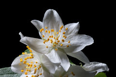 Πλαστός-πορτοκαλιά λουλούδια Στοκ Εικόνες