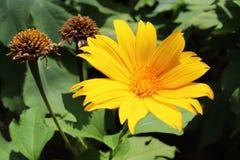 Πλαστό λουλούδι ήλιων λουλουδιών Heliopsis helianthoides Στοκ Φωτογραφία