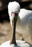 πλαταλέα πουλιών Στοκ Φωτογραφίες