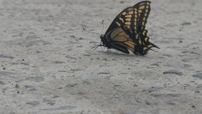 Πλευρά δύο πεταλούδων στοκ φωτογραφία