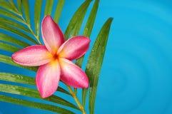 πλευρά λιμνών frangipani στοκ φωτογραφίες