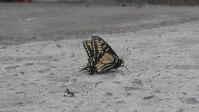 Πλευρά πεταλούδων στοκ φωτογραφίες