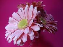 Πλευρική άποψη των ρόδινων λουλουδιών της Daisy στοκ εικόνες