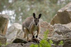 πληρωμένος wallaby κίτρινος βράχου στοκ εικόνα με δικαίωμα ελεύθερης χρήσης