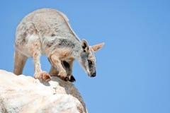 πληρωμένος wallaby κίτρινος βράχου στοκ φωτογραφίες