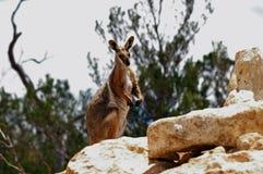 πληρωμένος wallaby κίτρινος βράχ&om Στοκ εικόνες με δικαίωμα ελεύθερης χρήσης