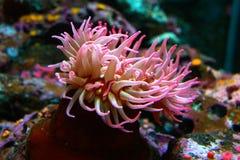 Πλοκάμια Anemone θάλασσας Στοκ εικόνα με δικαίωμα ελεύθερης χρήσης