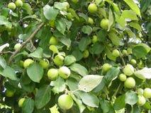 Πλούσια συγκομιδή, πράσινα μήλα σε έναν κλάδο Apple-δέντρων, σύσταση υποβάθρου Στοκ Εικόνα