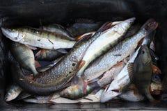 Πλούσια σύλληψη ψαράδων Στοκ Φωτογραφία