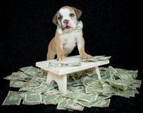 Πλούσιο κουτάβι μπουλντόγκ. Στοκ Εικόνες