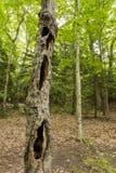 Πνευματικό δέντρο hallow στο δάσος Στοκ φωτογραφία με δικαίωμα ελεύθερης χρήσης