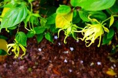 Ποιητική μελέτη των εγκαταστάσεων και των λουλουδιών Ylang Ylang Στοκ φωτογραφία με δικαίωμα ελεύθερης χρήσης