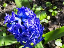 Ποικιλία των πορφυρών λουλουδιών των orientalis Hyacinthus σε έναν κήπο στοκ εικόνες