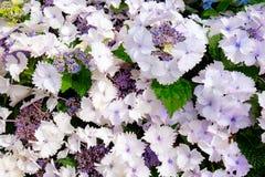 Ποικιλία macrophylla Hydrangea lacecap Στοκ Εικόνα