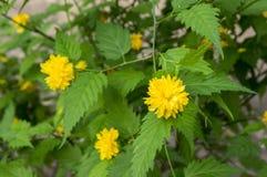 Ποικιλία pleniflora japonica Kerria στην άνθιση, κίτρινα λουλούδια στους κλάδους στο θάμνο Στοκ Φωτογραφία