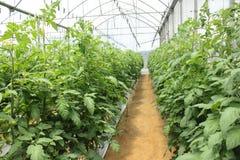 ποικιλία ντοματών φυτών θερμοκηπίων κερασιών Στοκ φωτογραφία με δικαίωμα ελεύθερης χρήσης