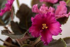 Ποικιλίες LE Saintpaulia - Rubin Mughal Ε Lebetskaya με τα όμορφα κόκκινα λουλούδια Κινηματογράφηση σε πρώτο πλάνο Στοκ Εικόνα