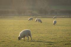 Ποιμενική σκηνή με τα πρόβατα στον τομέα Στοκ φωτογραφία με δικαίωμα ελεύθερης χρήσης