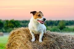 Ποιμενική σκηνή χώρας με τη συνεδρίαση σκυλιών στη θυμωνιά χόρτου στο ηλιοβασίλεμα Στοκ Εικόνες