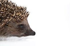 Ποιότητα στούντιο άγριων ζώων σκαντζόχοιρων Στοκ εικόνες με δικαίωμα ελεύθερης χρήσης