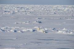 Πολικές αρκούδες που περπατούν στον πάγο Στοκ εικόνα με δικαίωμα ελεύθερης χρήσης