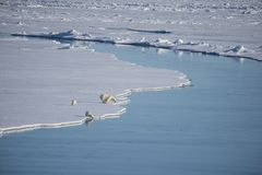 Πολικές αρκούδες που περπατούν στον πάγο Στοκ Εικόνες