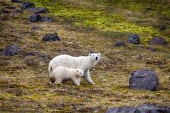 Πολικές αρκούδες στο έδαφος Franz-Joseph Θηλυκό με cub στοκ φωτογραφία με δικαίωμα ελεύθερης χρήσης