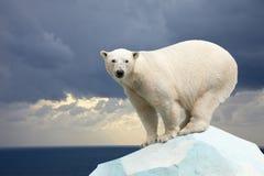 Πολική αρκούδα ενάντια στο τοπίο θάλασσας Στοκ Εικόνες