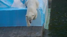 Πολική αρκούδα με cub το παιχνίδι στο νερό απόθεμα βίντεο