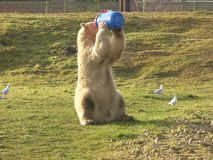 Πολική αρκούδα που εξετάζει έξω τον κόσμο στοκ εικόνες με δικαίωμα ελεύθερης χρήσης