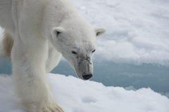 Πολική αρκούδα που περπατά στον πάγο Στοκ Φωτογραφία