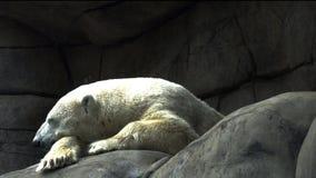 Πολική αρκούδα που στηρίζεται στις πέτρες απόθεμα βίντεο