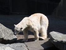 Πολική αρκούδα που τρέχει στον ήλιο στοκ εικόνες