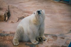 Πολική αρκούδα στην άγρια φύση ζωολογικών κήπων στο σαφάρι Ιταλία apulia Fasano στοκ φωτογραφία