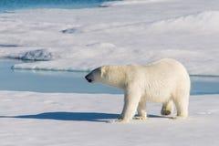 Πολική αρκούδα στον πάγο πακέτων στοκ φωτογραφία