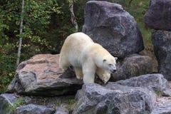 Πολική αρκούδα στο βόρειο τμήμα του Καναδά Στοκ φωτογραφία με δικαίωμα ελεύθερης χρήσης