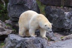 Πολική αρκούδα στο βόρειο τμήμα του Καναδά Στοκ Φωτογραφία