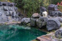 Πολική αρκούδα στο βόρειο τμήμα του Καναδά Στοκ Εικόνες