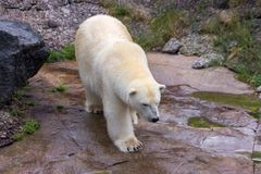 Πολική αρκούδα στο βόρειο τμήμα του Καναδά στοκ εικόνες με δικαίωμα ελεύθερης χρήσης