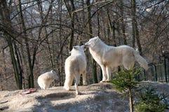 πολικοί λύκοι Στοκ Φωτογραφίες