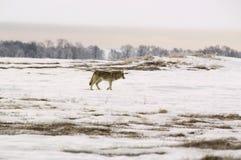 πολικός λύκος Λύκου canis albus Στοκ εικόνα με δικαίωμα ελεύθερης χρήσης