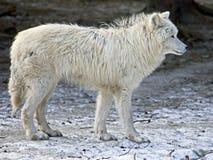 πολικός λύκος 10 Στοκ Φωτογραφίες