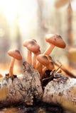 Πολλά αγαρικά μελιού σε έναν παλαιό κλάδο σημύδων Δασικές ακτίνες ήλιων συλλογής μανιταριών φθινοπώρου που τονίζουν την εκλεκτική Στοκ Εικόνες