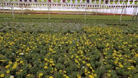 Πολλά ανθίζοντας λουλούδια στα δοχεία, σύγχρονος θερμός για την ανάπτυξη ανθίζουν πολλά ανθίζοντας λουλούδια κοντά επάνω απόθεμα βίντεο