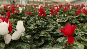 Πολλά ανθίζοντας λουλούδια στο θερμοκήπιο απόθεμα βίντεο