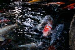 Πολλά από τα φανταχτερά ψάρια κυπρίνων ή Koi Στοκ φωτογραφία με δικαίωμα ελεύθερης χρήσης