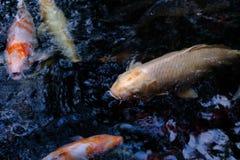 Πολλά από τα φανταχτερά ψάρια κυπρίνων ή Koi Στοκ Φωτογραφία
