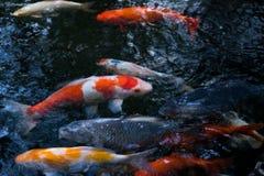 Πολλά από τα φανταχτερά ψάρια κυπρίνων ή Koi Στοκ εικόνα με δικαίωμα ελεύθερης χρήσης