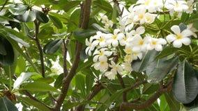 Πολλά εξωτικά άσπρα λουλούδια Σύνολο άνθισης Frangipani Plumeria Leelawadee άσπρων τροπικών λουλουδιών στο πράσινο δέντρο r απόθεμα βίντεο